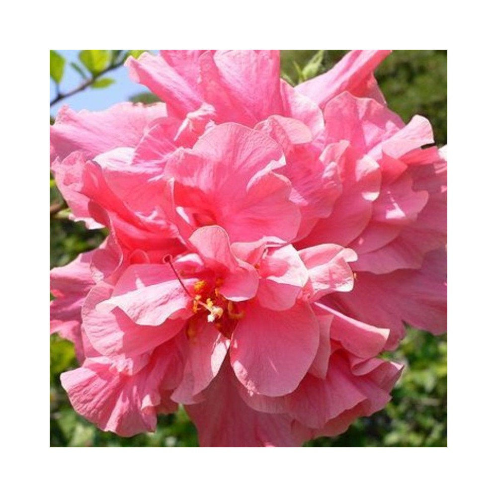 Buy hibiscus pink plant online at lowest price hibiscus the word hibiscus derived from the ancient greek hibiskos the name for the plant known as marsh mallow or white mallow mightylinksfo