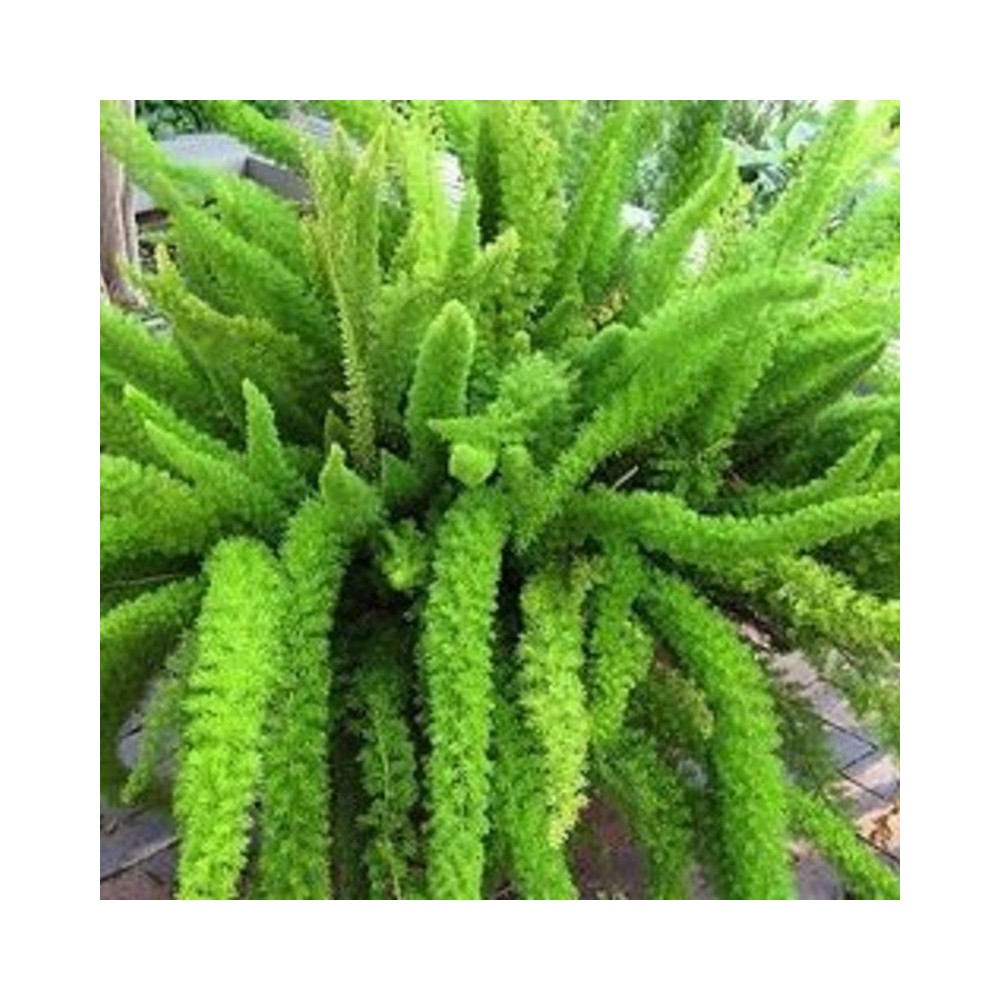 Buy Asparagus Fern Plant Online At Lowest Price