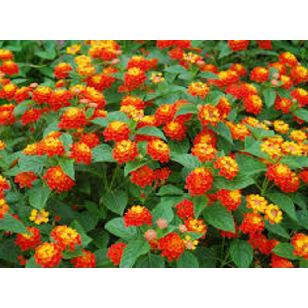 Buy Lantana Plant Online At Lowest Price