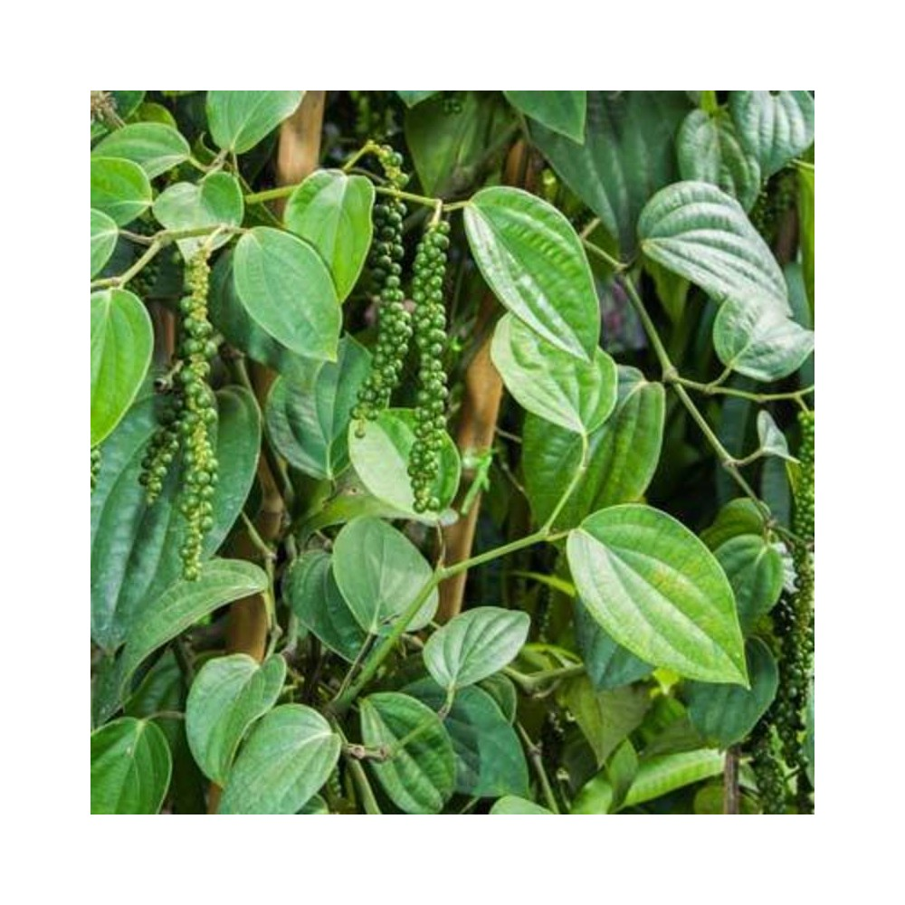Buy Black Pepper Kali Mirch Plant Online At Lowest Price