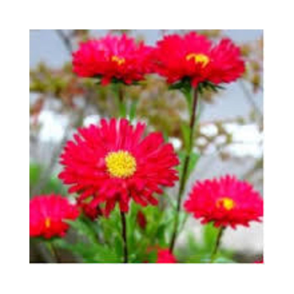 Buy Asters Red Plant Online At Lowest Price