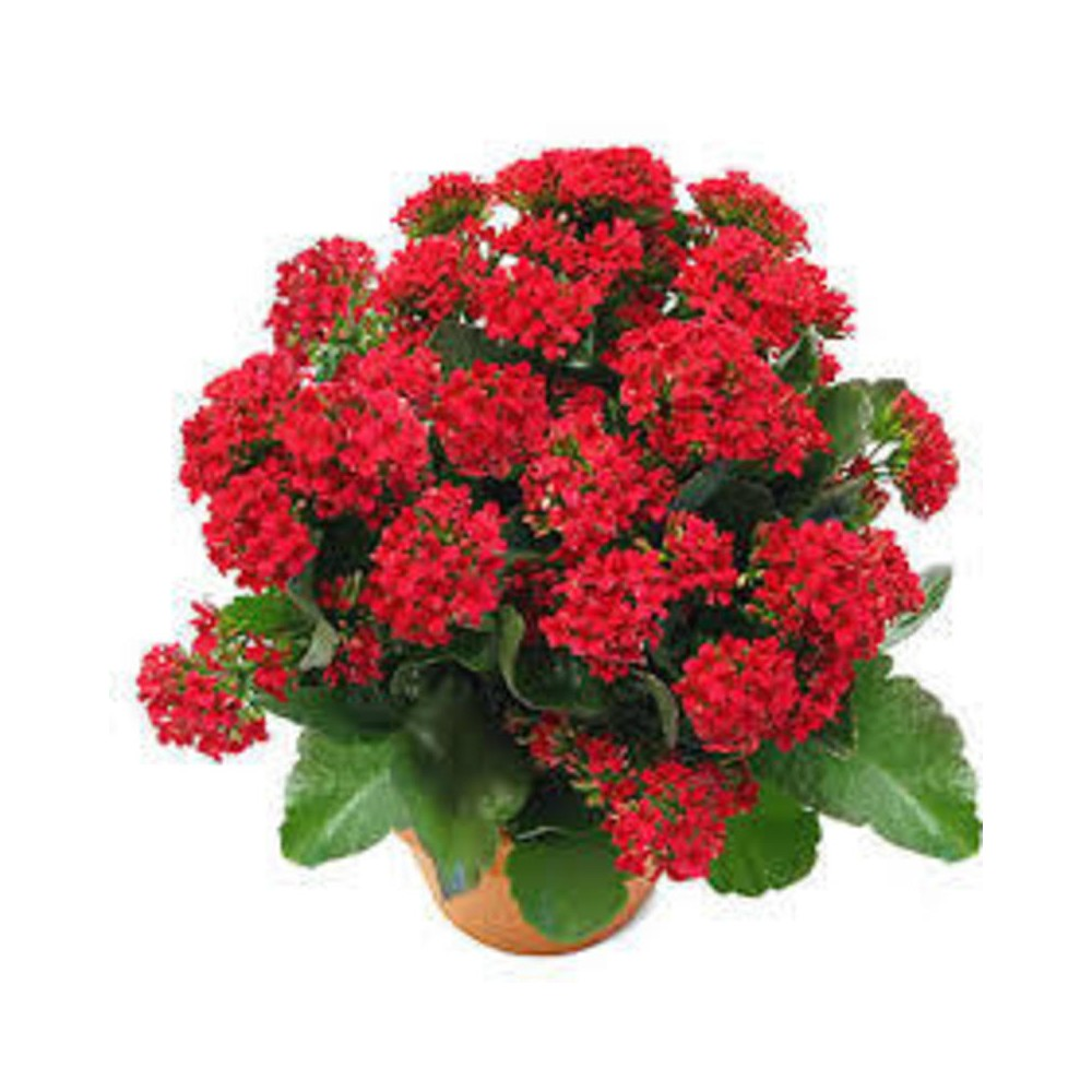 Buy Kalanchoe Plant Online At Lowest Price