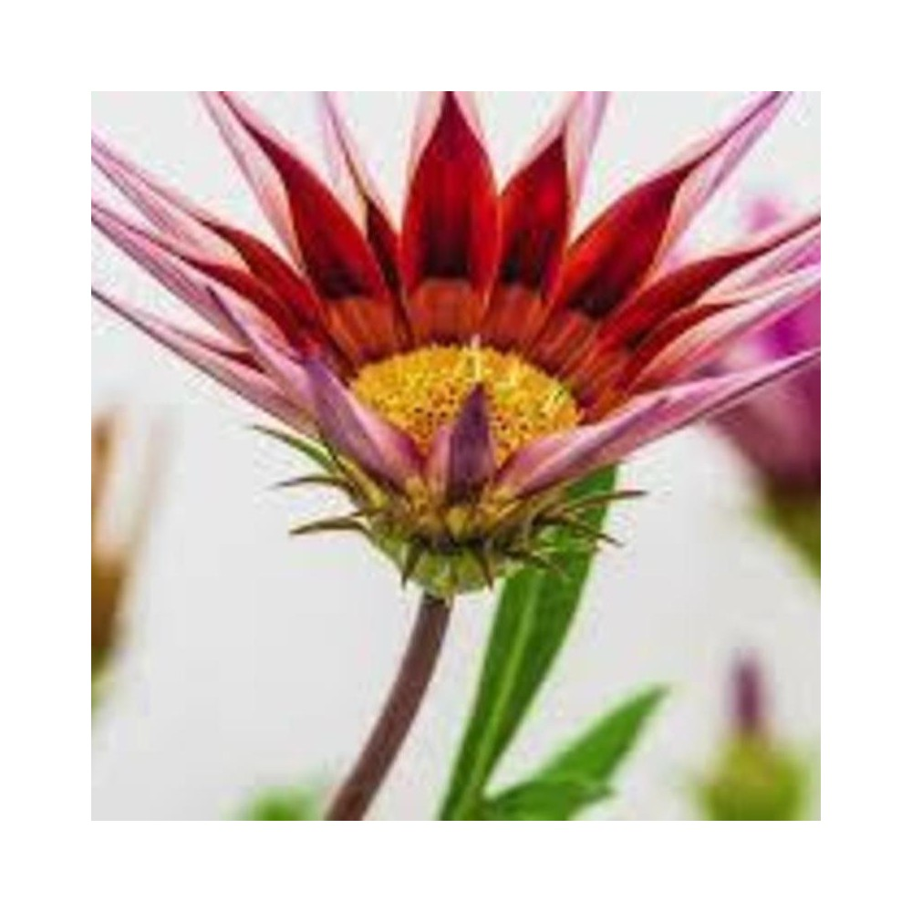 Buy Gazania Red Yellow Plant Online At Lowest Price