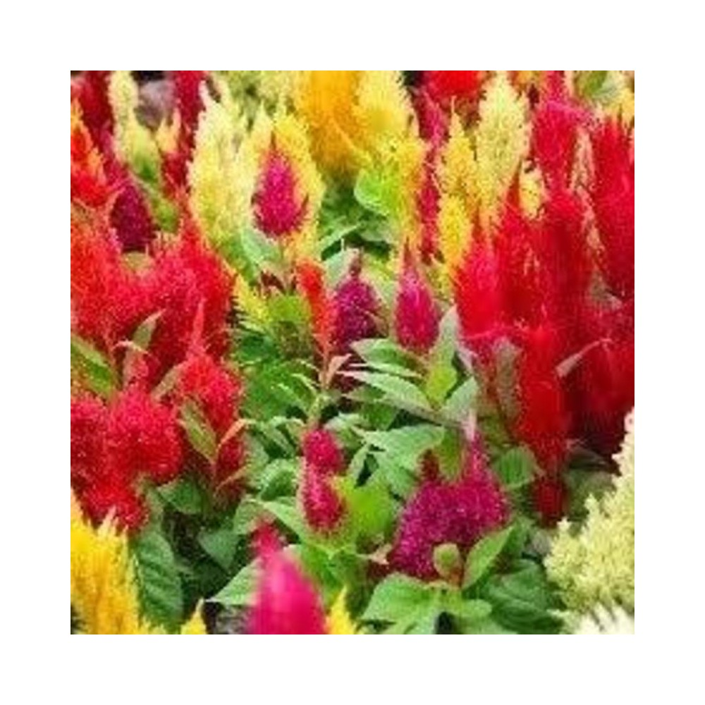 Buy Celosia Plumosa Plant Hybrid Seeds Online At Lowest Price