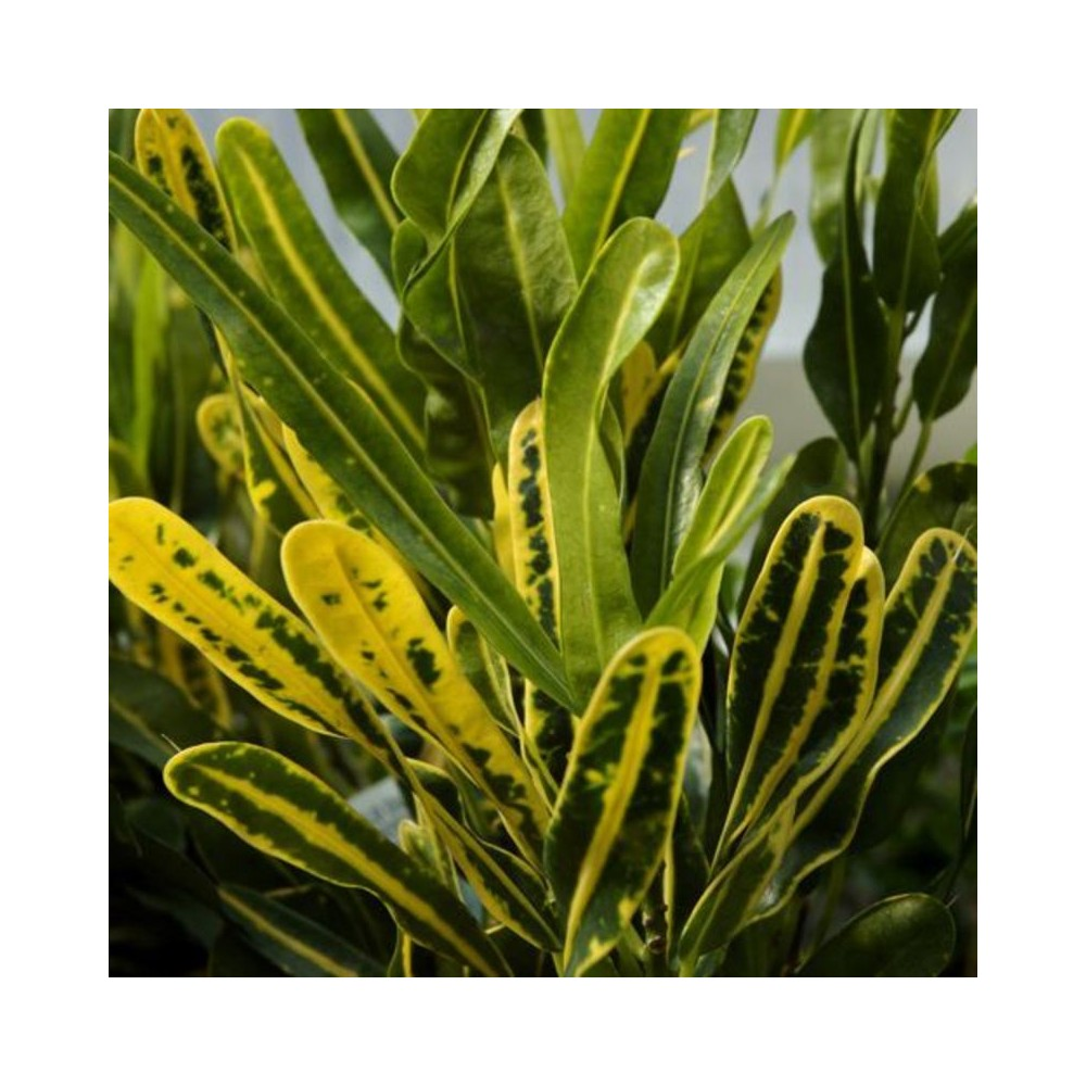 Buy Croton Gold Dust Tall Leaves Plants Online At Lowest Price