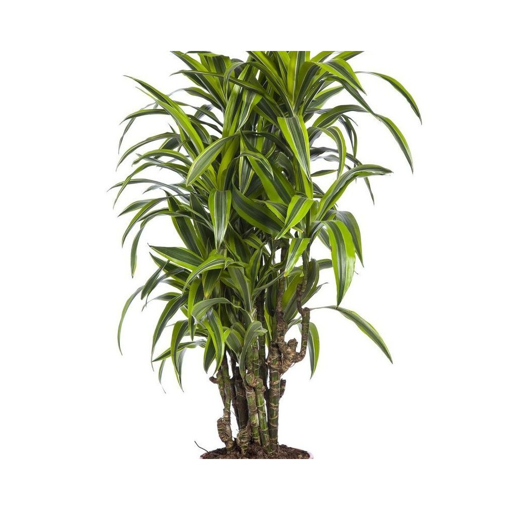 Dracaena: types, photos, titles. All about the care of the dragonza at home: tips and tricks 39