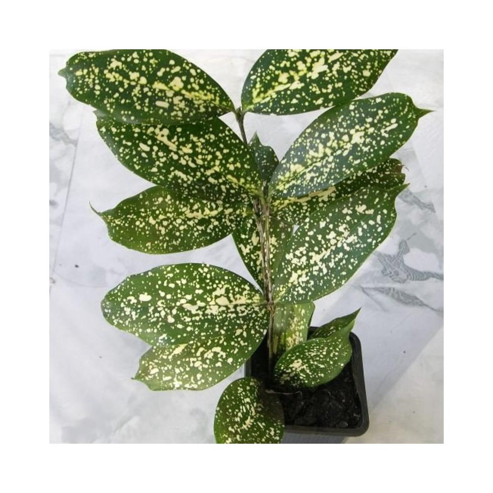 Buy Dracaena Sanderiana Spotted Leaf Plants Online At