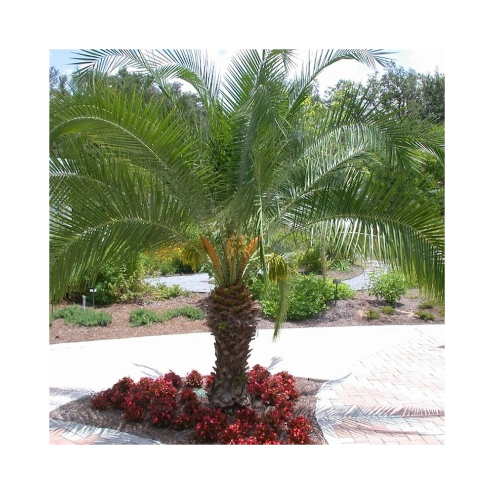 Buy Phoenix Palm Plants Online At Lowest Price