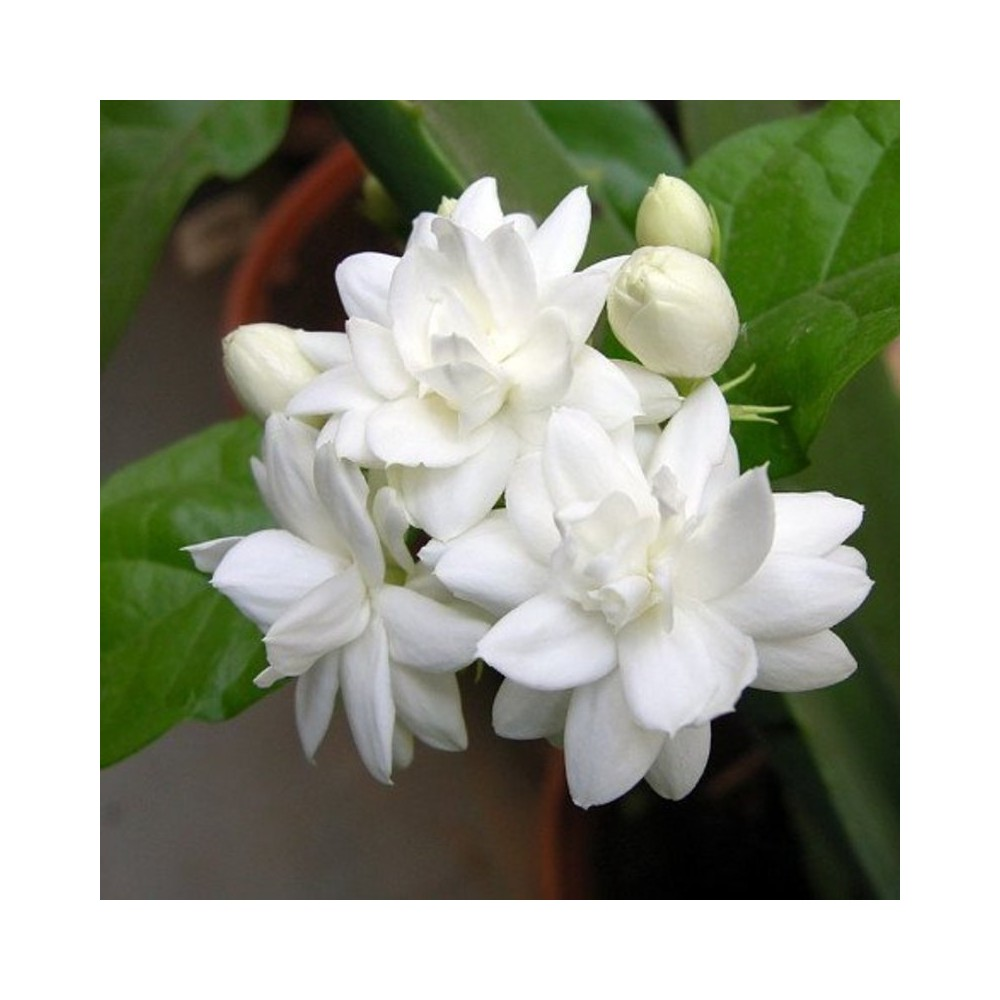 Buy jasminum sambac mogra arabian jasmine plants online at lowest price jasmine plant care may require a bit of effort but the results are well worth the work not all jasmine plants are fragrant but the most common and hardy izmirmasajfo
