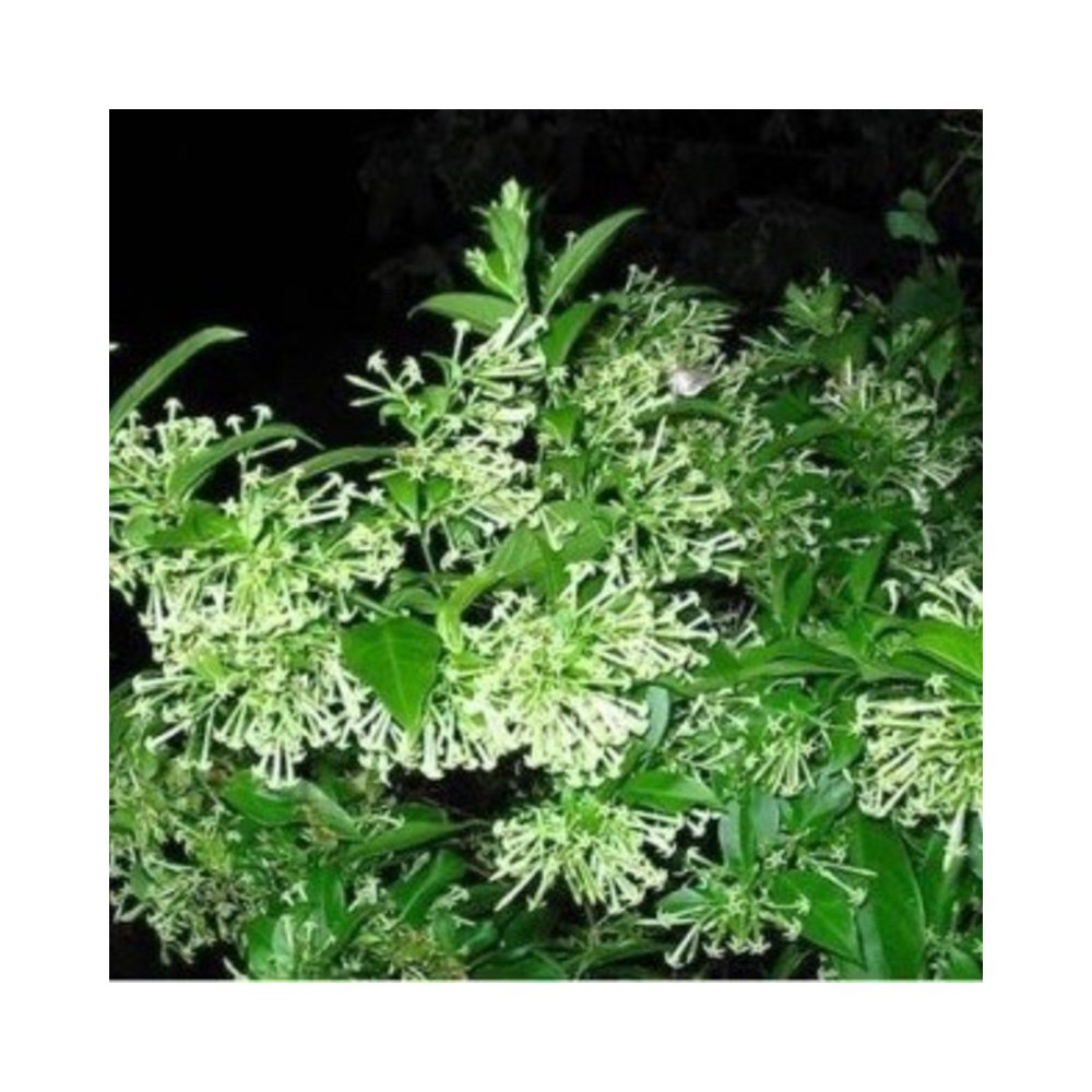 Buy Raat Ki Rani Night Blooming Plants Online At Lowest Price