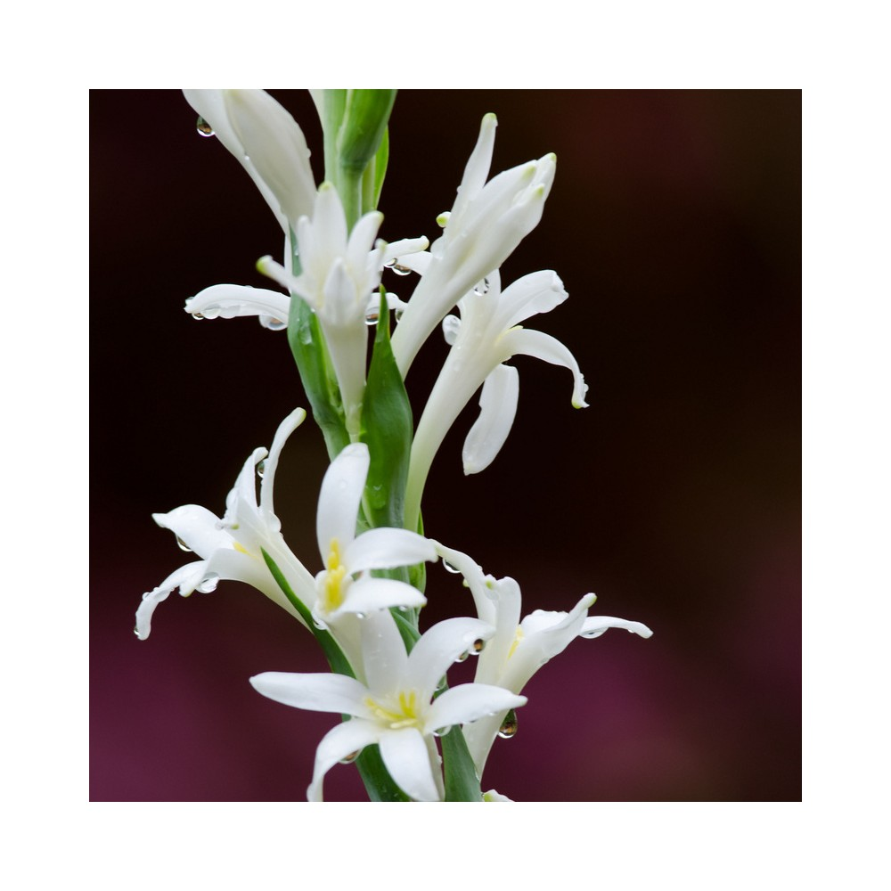 Buy Rajnigandha Polianthes Tuberosa Plants Online At