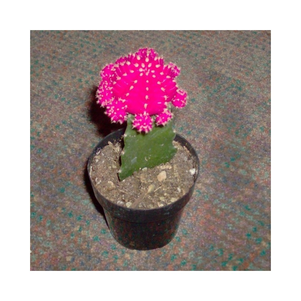 New Buy Grafted Moon Cactus Plants Online at lowest price DN57