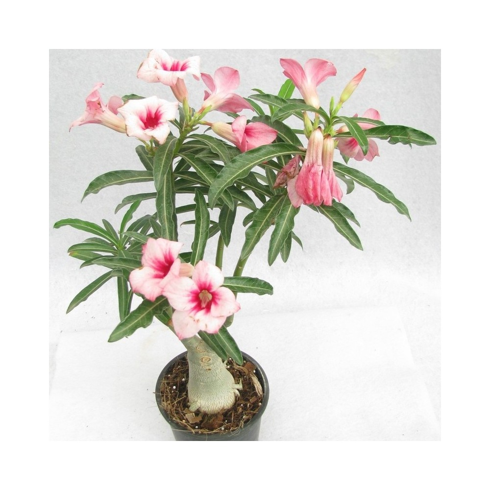 Buy adenium flower pink plants online at lowest price native to arabias semi arid regions and eastern as well as western tropical africa the name adenium is derived from the arabic name for the plant mightylinksfo