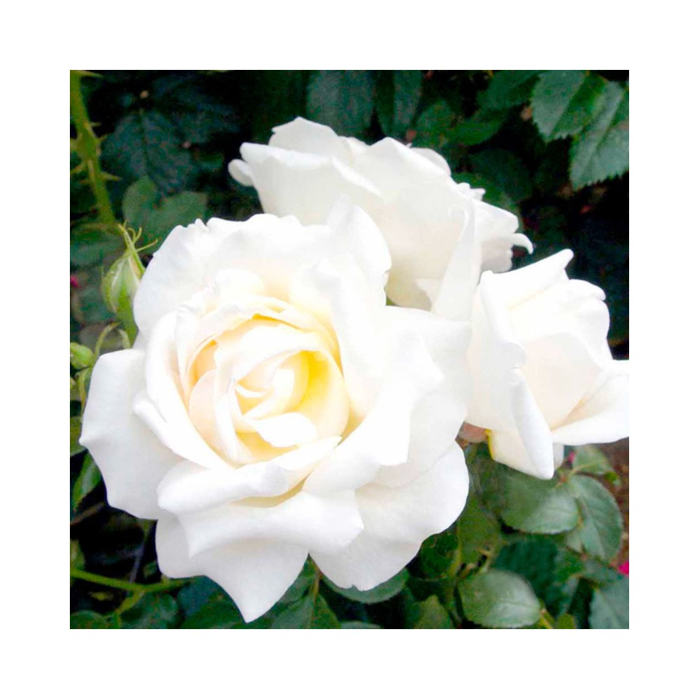Buy rose white plants online at lowest price rose though roses are shrubs we have categorized them with flowers since most people tend to look for them here mightylinksfo