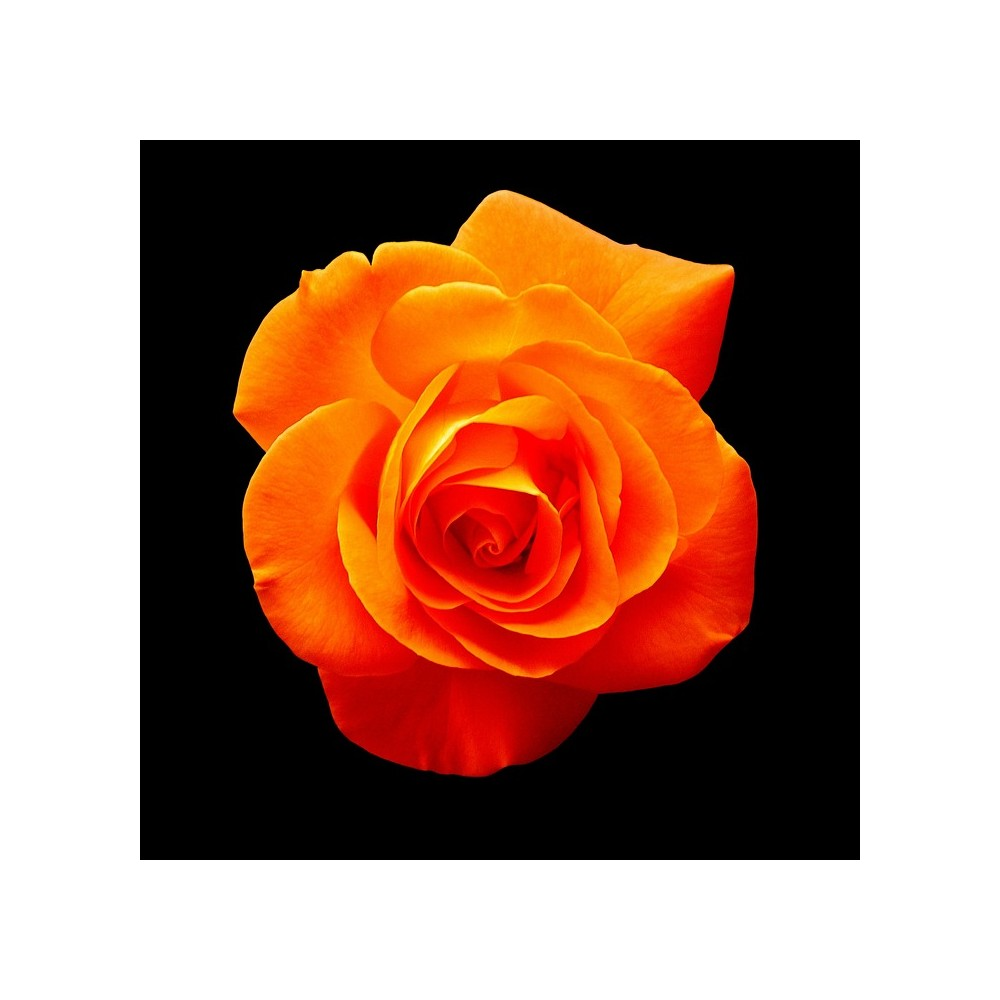 Buy Rose True Orange Pink Plants Online At Lowest Price