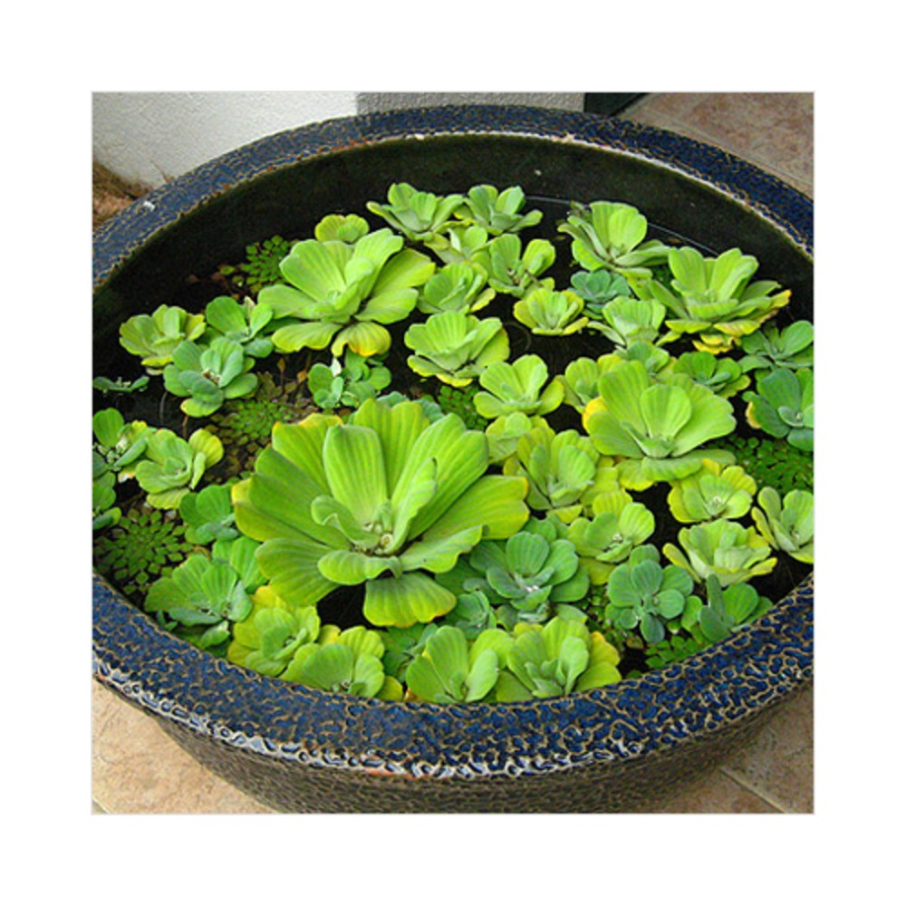 Buy Water Lily Plants Online At Lowest Price