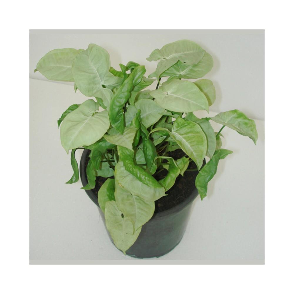 Buy Syngonium Silver Pearl Air Purifier Plants Online At