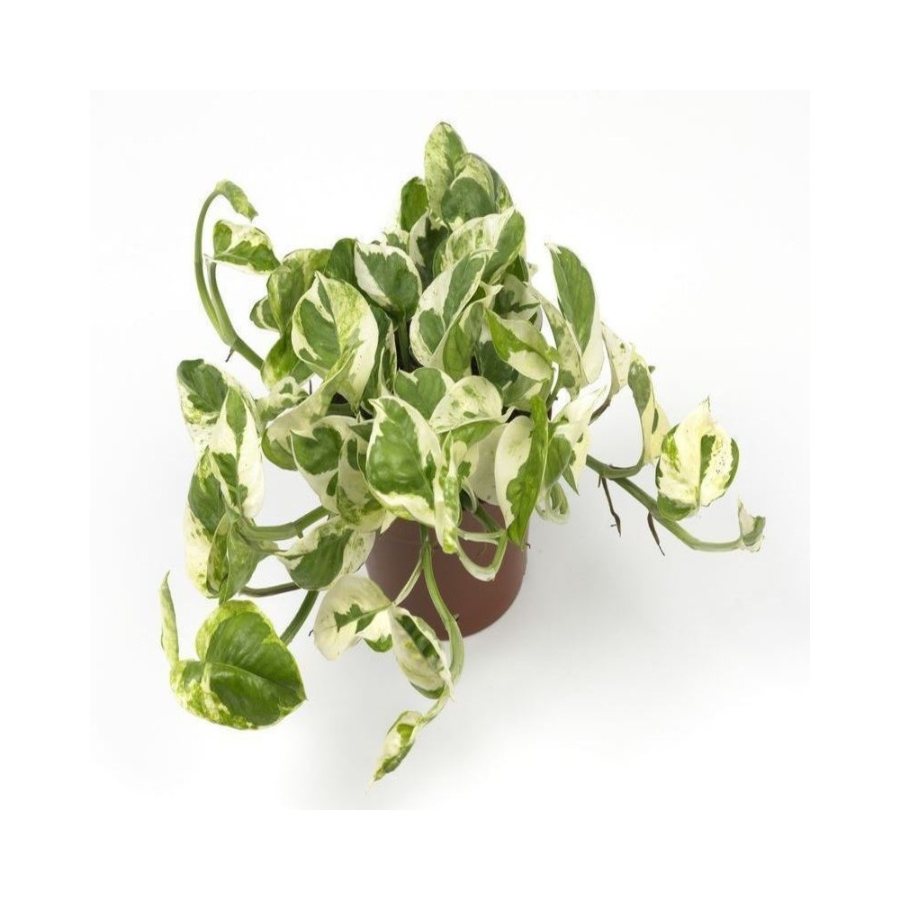 Buy Money Variegated Plant Good Luck Plants Online At
