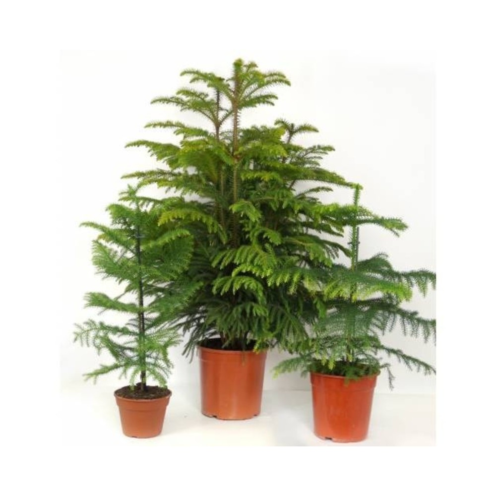 Christmas Tree In Garden: Buy Chrismas Tree Plants Online At Lowest Price