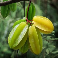 Buy Star Fruit Hybrid Plants Online at lowest price