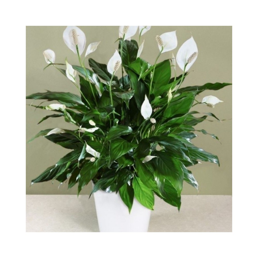 Buy Spathyphyllum Plant Online At Lowest Price