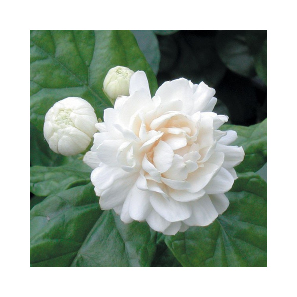 Buy Double Mogra Plant Online At Lowest Price