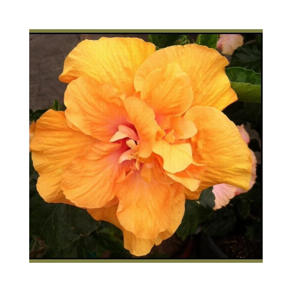 Buy hibiscus orange plant online at lowest price hibiscus the word hibiscus derived from the ancient greek hibiskos the name for the plant known as marsh mallow or white mallow izmirmasajfo
