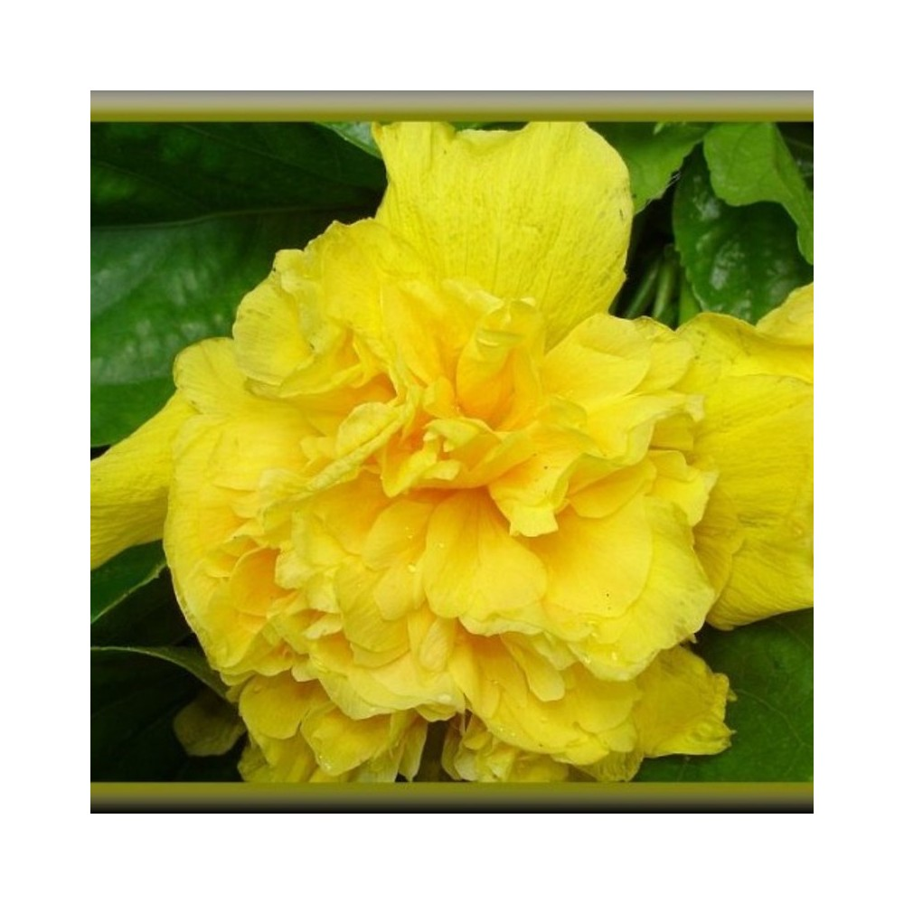 Buy Hibiscus Yellow Plant Online At Lowest Price