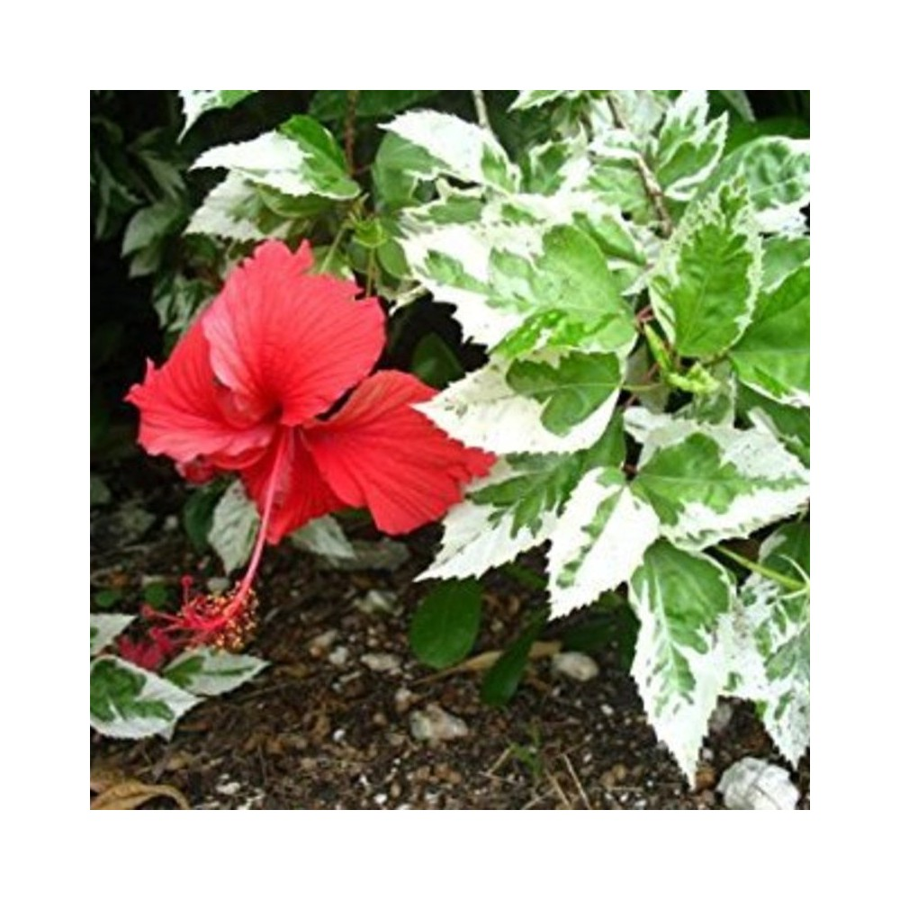 Buy Hibiscus Chitra Plant Online At Lowest Price