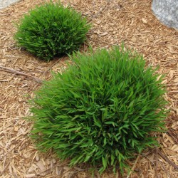 Buy Bamboo Grass Lucky Grass Plant Online At Lowest Price
