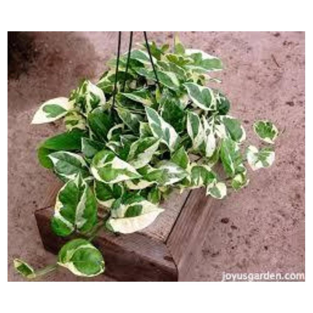 Buy Money Plant Pothos Variegated Plant Online At Lowest